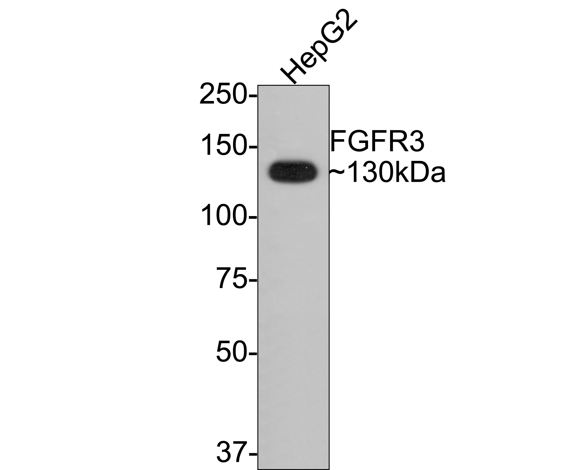 Western blot analysis of FGFR3 on Hela cells lysates using anti-FGFR3 antibody at 1/500 dilution.
