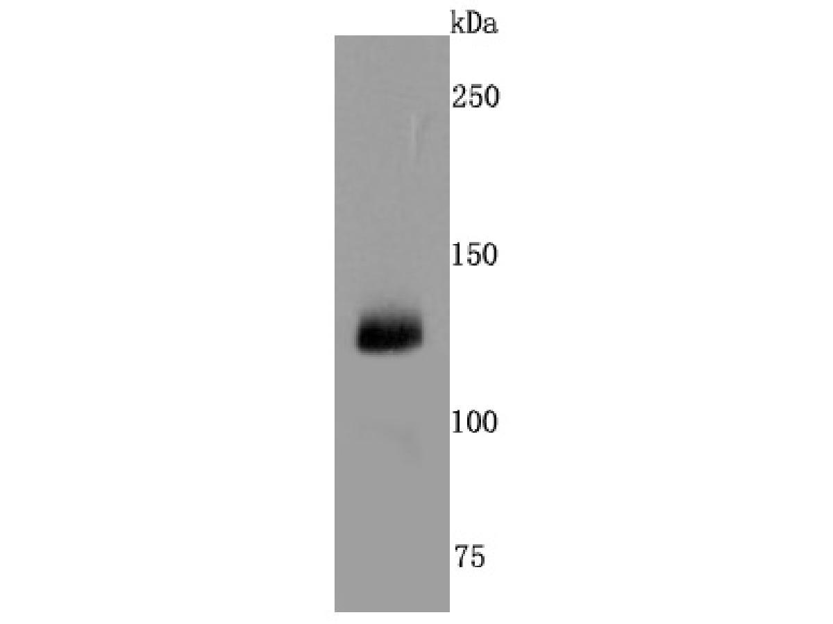 Western blot analysis of CD41 on human placenta cells lysates using anti-CD41 antibody at 1/500 dilution.
