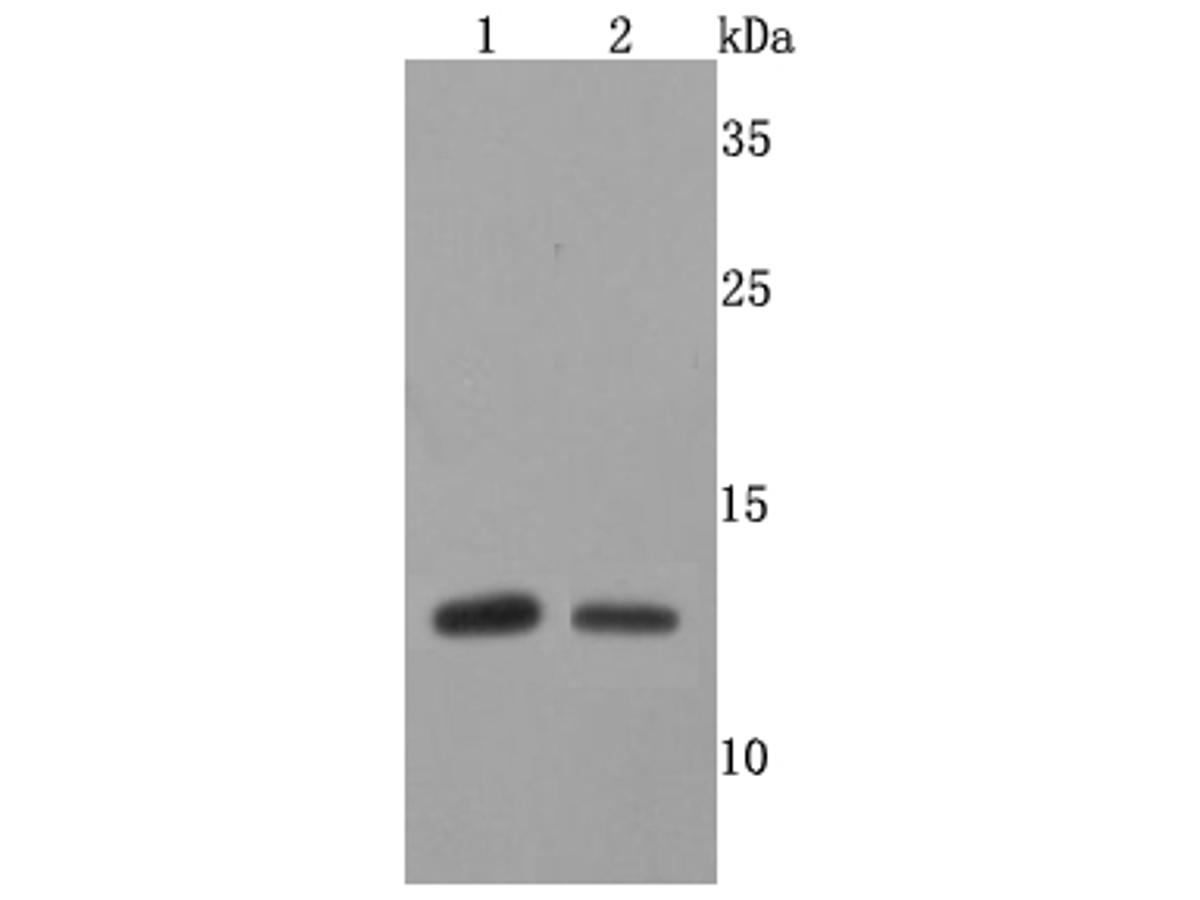 Western blot analysis of FKBP12 on different cells lysates using anti-FKBP12 antibody at 1/500 dilution.<br /> Positive control: <br /> Line 1: SH-SY5Y           <br /> Line 2:V937