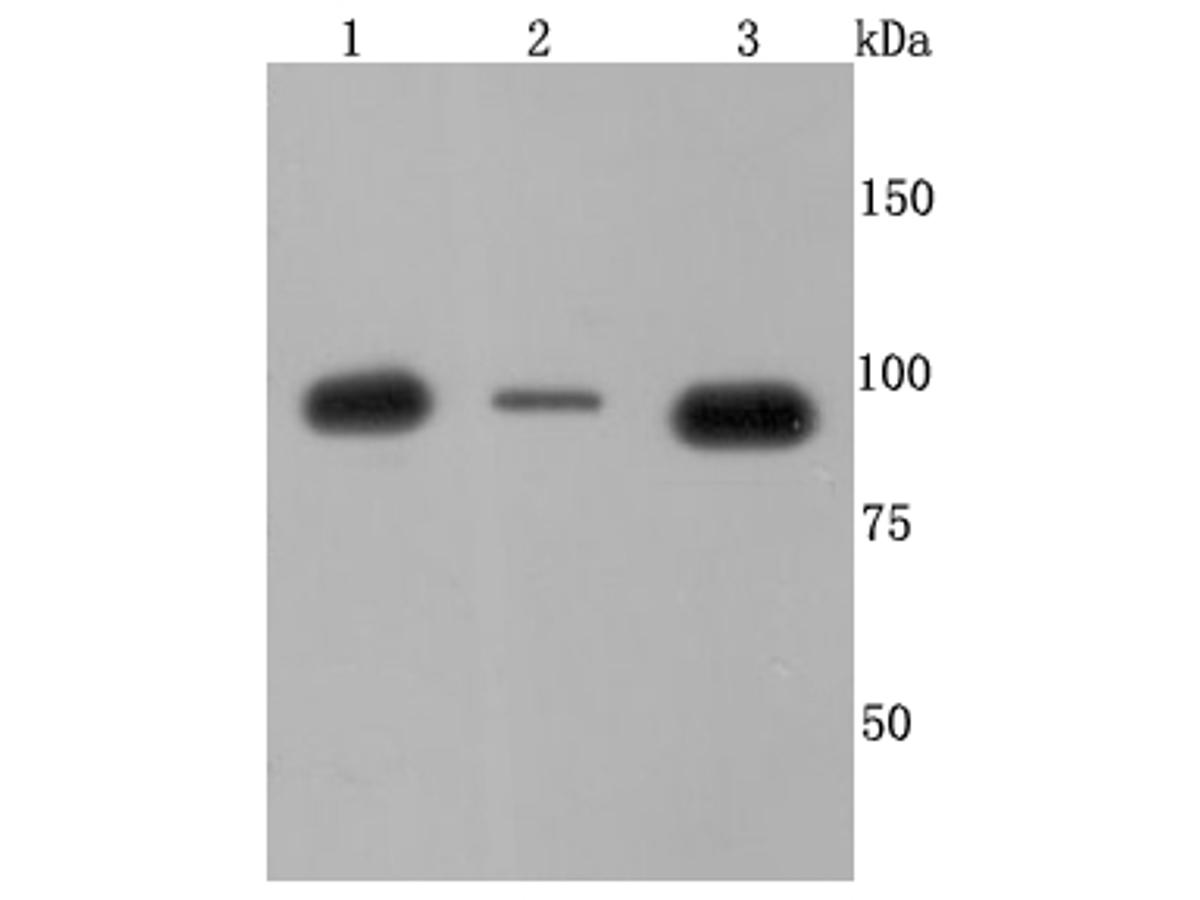 Western blot analysis of VCP on different cells lysates using anti-VCP antibody at 1/500 dilution.<br /> Positive control: Line 1: SH-SY5Y Line 2: HepG2 Line 3: Hela