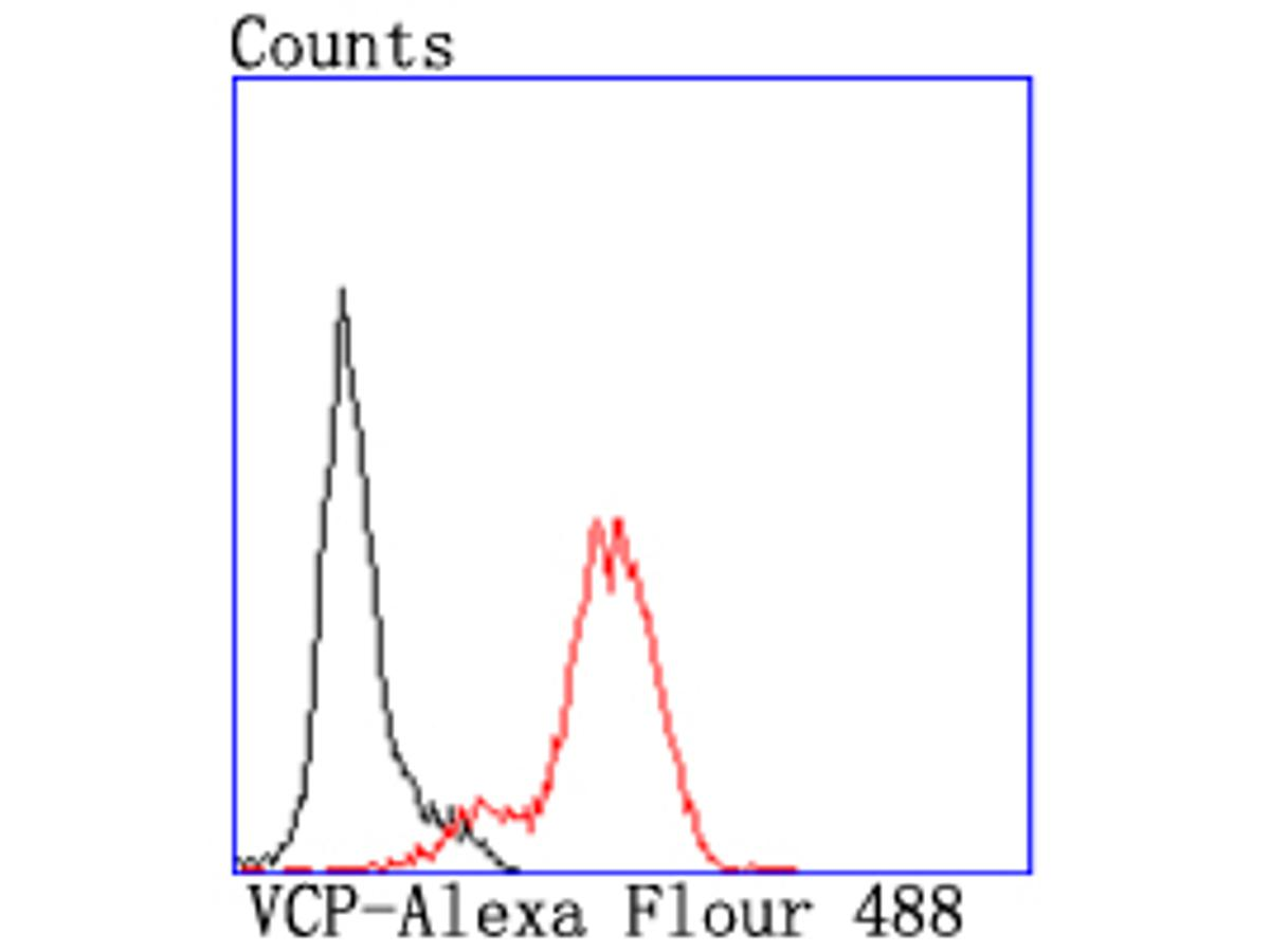 Western blot analysis of VCP on hybrid fish (crucian-carp) heart tissue lysate using anti-VCP antibody at 1/500 dilution.