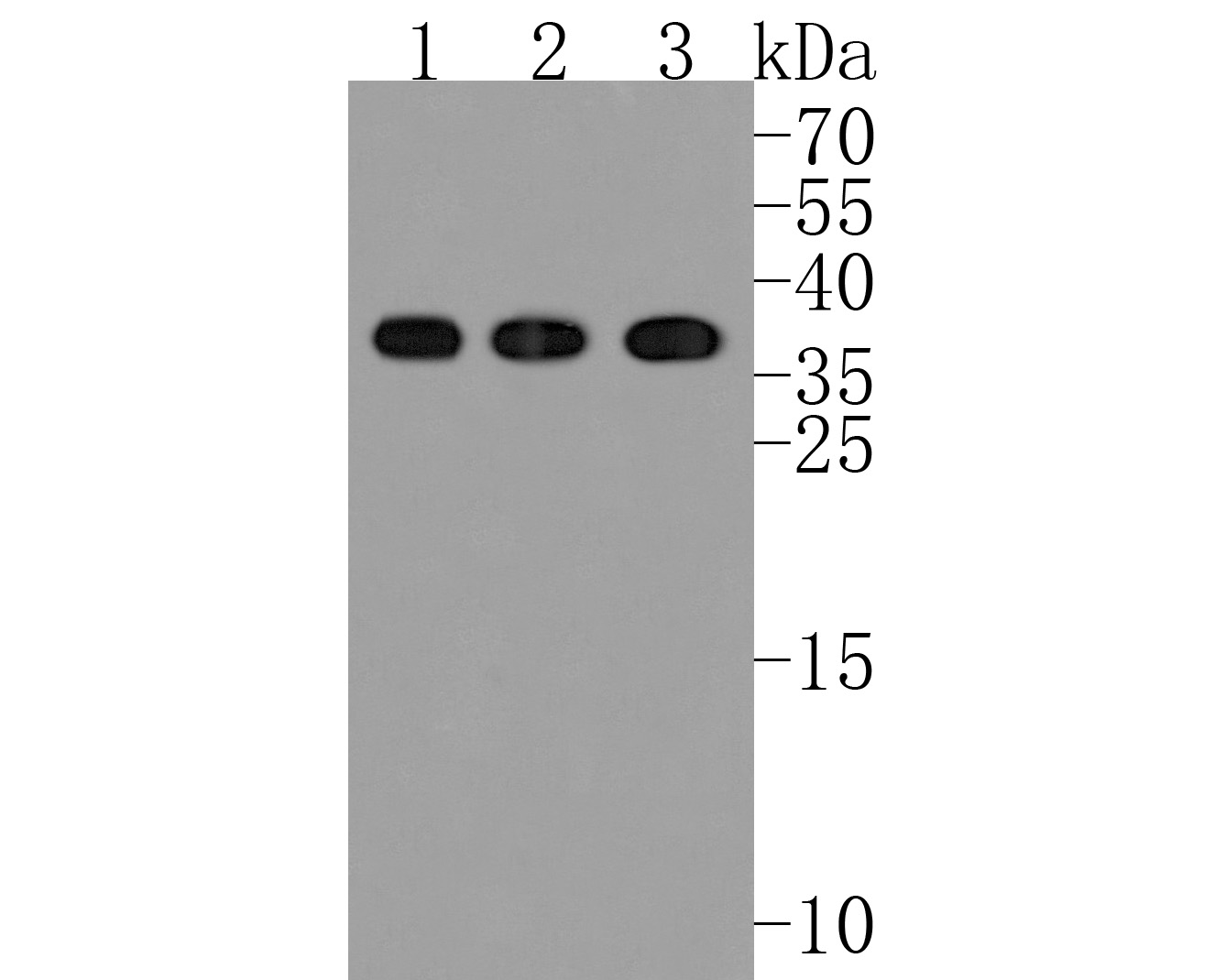 Western blot analysis of CD40L on different cells lysates using anti-CD40L antibody at 1/500 dilution.<br /> Positive control:<br /> Lane 1: Hela<br /> Lane 2: Mouse liver