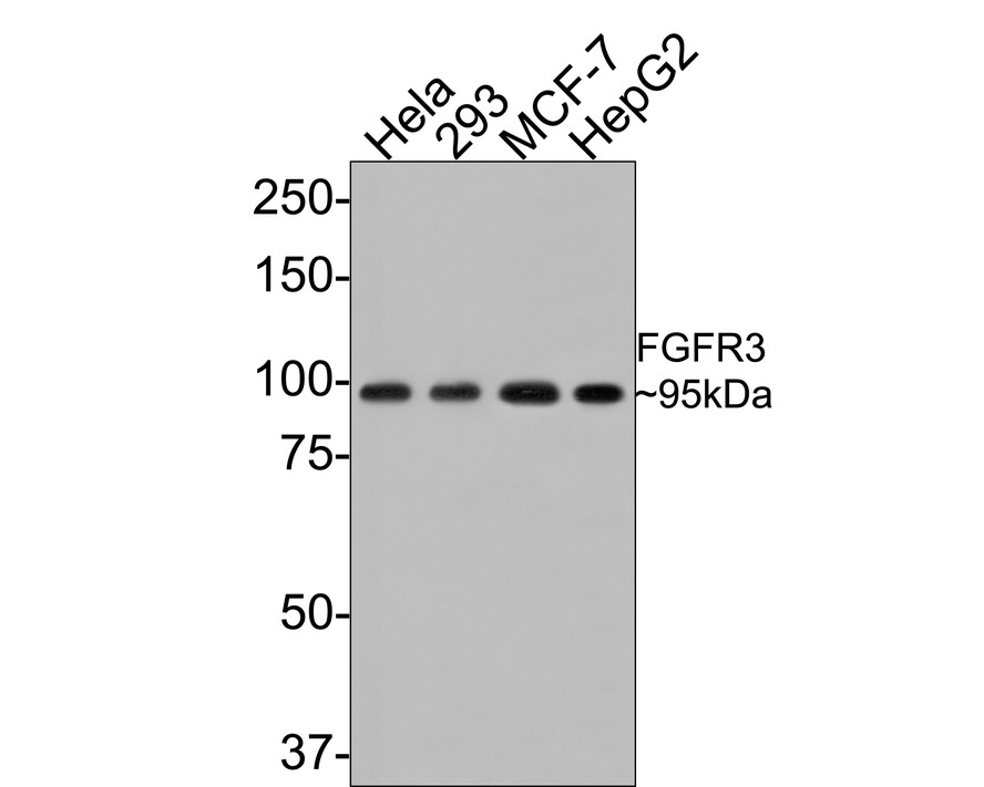 Western blot analysis of FGFR3 on different lysates. Proteins were transferred to a PVDF membrane and blocked with 5% BSA in PBS for 1 hour at room temperature. The primary antibody (ET1703-65, 1/500) was used in 5% BSA at room temperature for 2 hours. Goat Anti-Rabbit IgG - HRP Secondary Antibody (HA1001) at 1:5,000 dilution was used for 1 hour at room temperature.<br />  Positive control: <br />  Lane 1: Hela cell lysate<br />  Lane 2: HepG2 cell lysate<br />  Lane 3: 293 cell lysate<br />  Lane 4: MCF-7 cell lysate