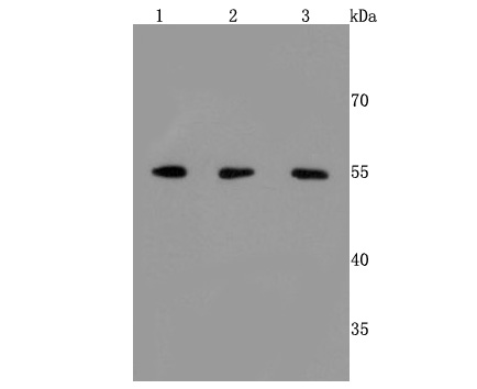 Western blot analysis of ERp57 on different cells lysates using anti-ERp57 antibody at 1/500 dilution.<br /> Positive control: <br /> Line 1: Hela         <br /> Line 2: HepG2 <br /> Line 3:293T