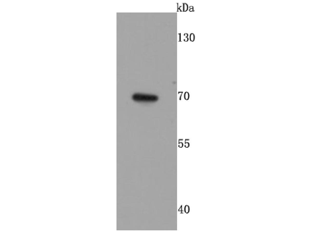 Western blot analysis of GAD67 on Hela cells lysates using anti-GAD67 antibody at 1/500 dilution.