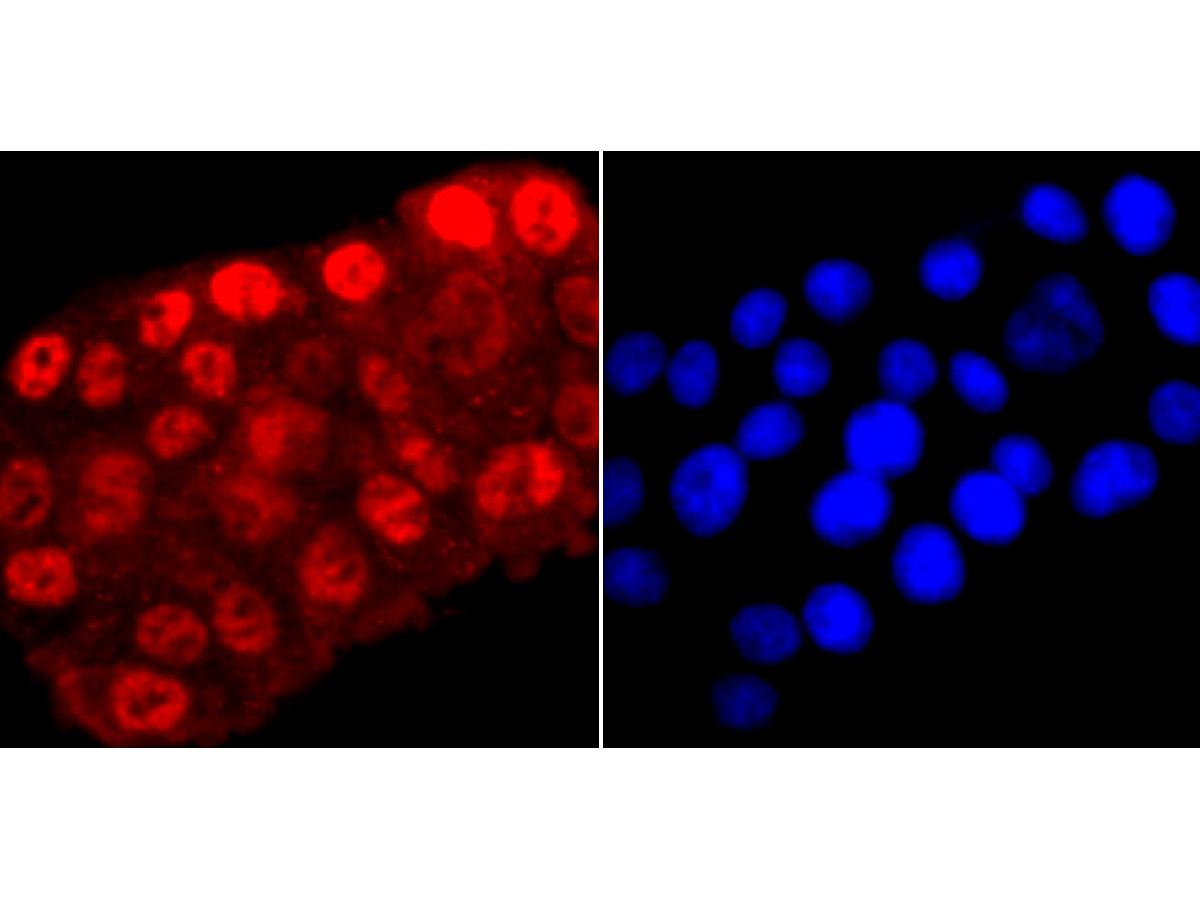 ICC staining Phospho-POLR2A (S5) in PC-12 cells (red). The nuclear counter stain is DAPI (blue). Cells were fixed in paraformaldehyde, permeabilised with 0.25% Triton X100/PBS.