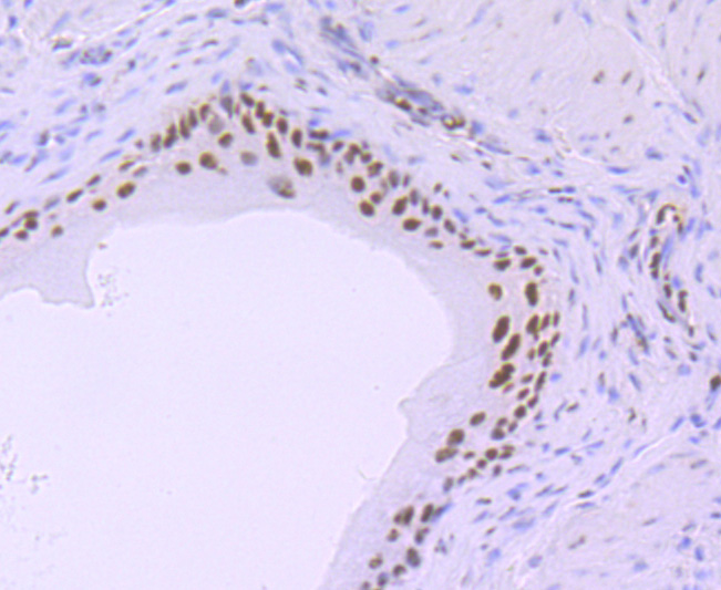 Immunohistochemical analysis of paraffin-embedded mouse bladder tissue using anti- Phospho-POLR2A (S5) antibody. Counter stained with hematoxylin.