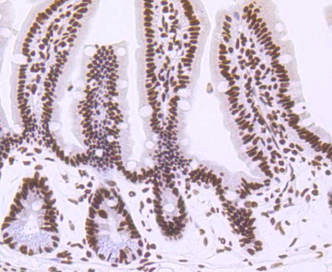 Western blot analysis of CTCF on hybrid fish (crucian-carp) brain tissue lysate using anti-CTCF antibody at 1/500 dilution.