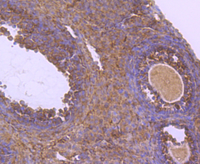 Immunohistochemical analysis of paraffin-embedded mouse ovarian tissue using anti-NUR77 antibody. The section was pre-treated using heat mediated antigen retrieval with Tris-EDTA buffer (pH 8.0-8.4) for 20 minutes.The tissues were blocked in 5% BSA for 30 minutes at room temperature, washed with ddH2O and PBS, and then probed with the primary antibody (ET1703-97, 1/50) for 30 minutes at room temperature. The detection was performed using an HRP conjugated compact polymer system. DAB was used as the chromogen. Tissues were counterstained with hematoxylin and mounted with DPX.