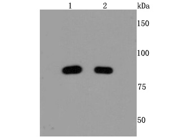 Western blot analysis of Mre11 on different cells lysates using anti-Mre11 antibody at 1/500 dilution.<br /> Positive control: Line 1: 293T Line 2: Hela <br />