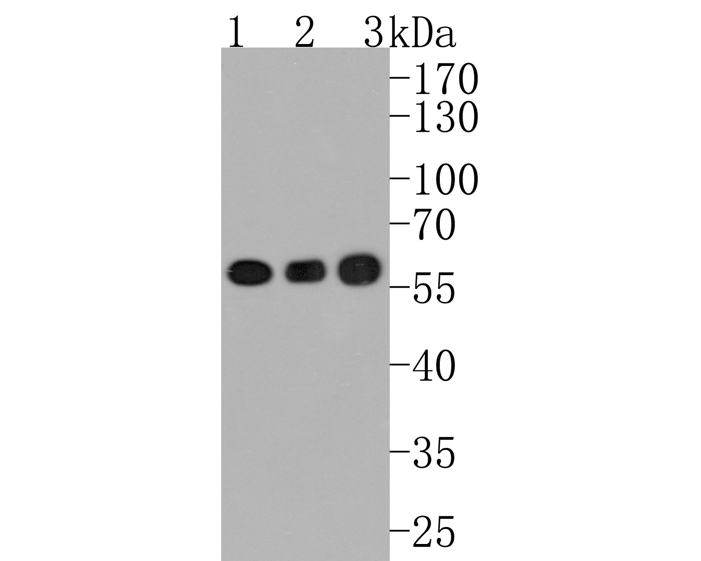 Flow cytometric analysis of Hela cells with Calcineurin A antibody at 1/50 dilution (red) compared with an unlabelled control (cells without incubation with primary antibody; black). Alexa Fluor 488-conjugated goat anti rabbit IgG was used as the secondary antibody.