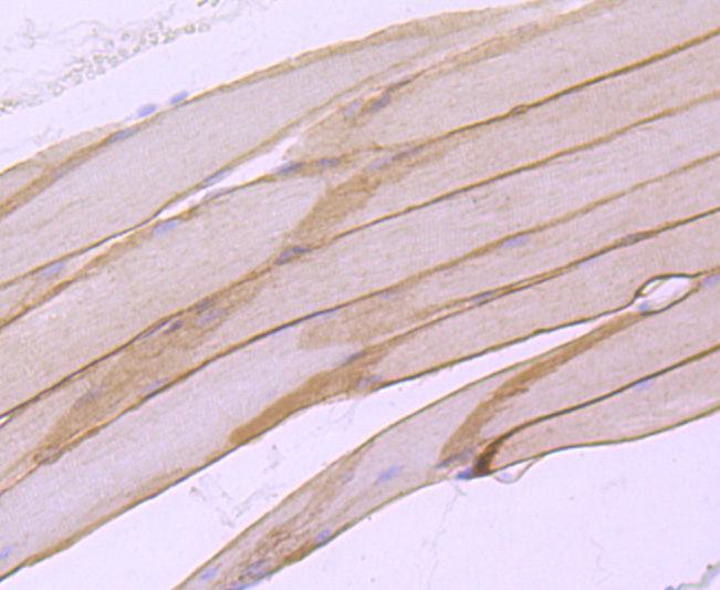 Immunohistochemical analysis of paraffin-embedded mouse skeletal muscle tissue using anti-alpha sarcoglycan antibody. Counter stained with hematoxylin.