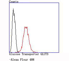 Flow cytometric analysis of Glucose Transporter GLUT3 was done on SH-SY5Y cells. The cells were fixed, permeabilized and stained with the primary antibody (ET1704-59, 1/50) (red). After incubation of the primary antibody at room temperature for an hour, the cells were stained with a Alexa Fluor 488-conjugated Goat anti-Rabbit IgG Secondary antibody at 1/1000 dilution for 30 minutes.Unlabelled sample was used as a control (cells without incubation with primary antibody; black).