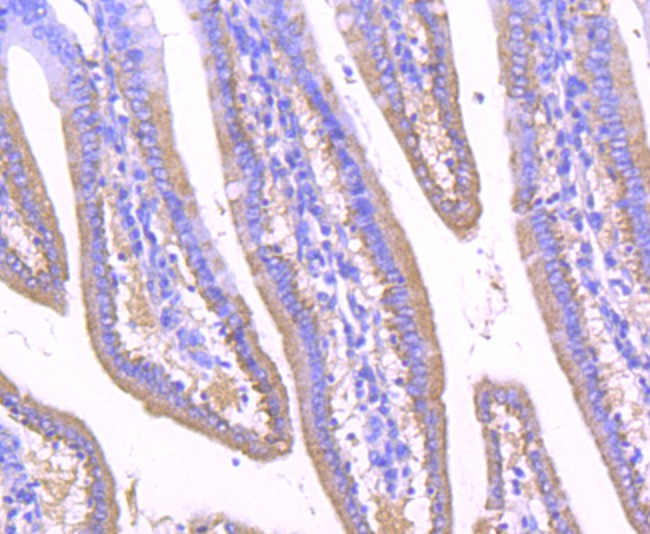 Immunohistochemical analysis of paraffin-embedded mouse small intestine tissue using anti-GOLPH2 antibody. Counter stained with hematoxylin.