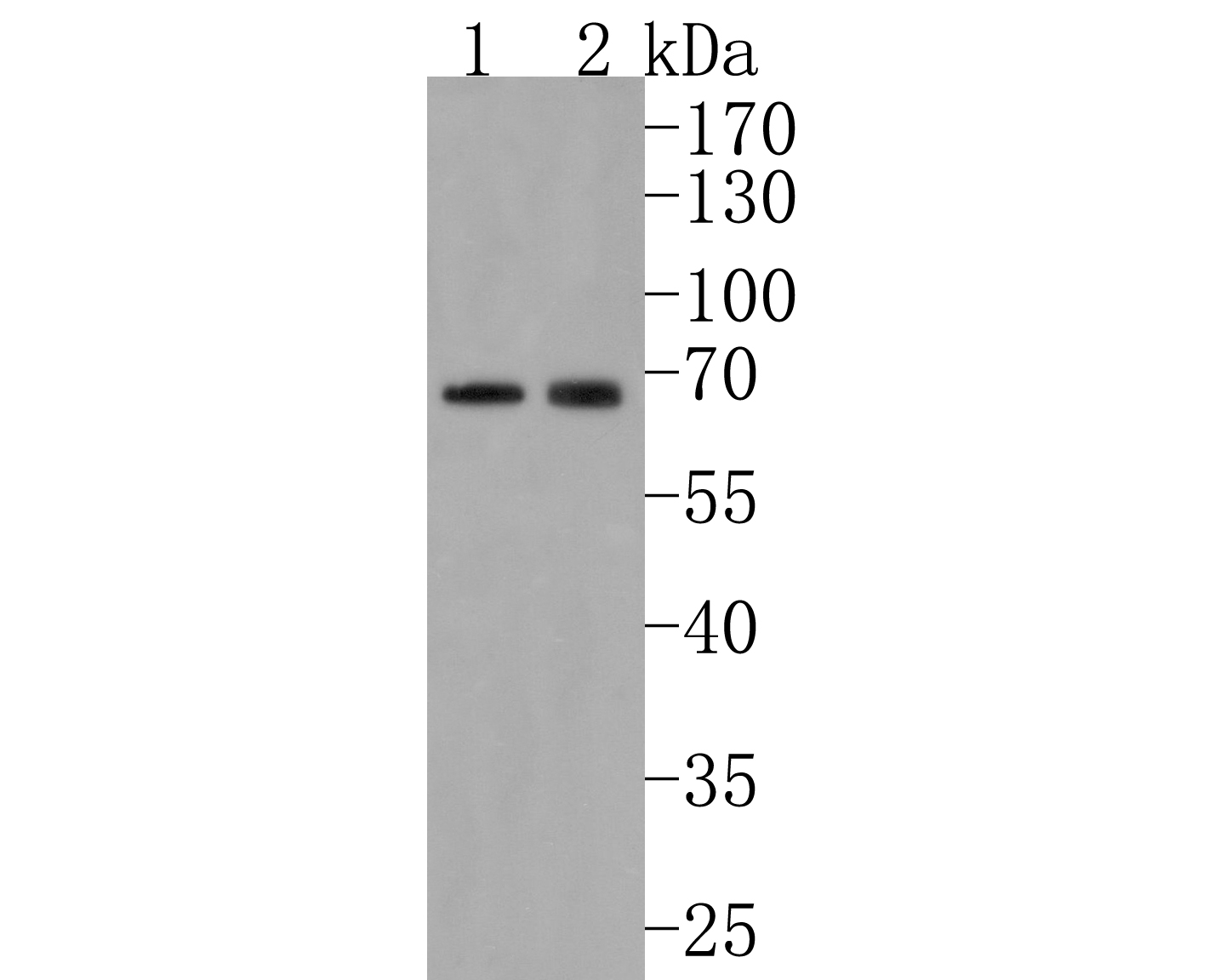 Western blot analysis of CDT1 on Hela cell using anti-CDT1 antibody at 1/1,000 dilution.