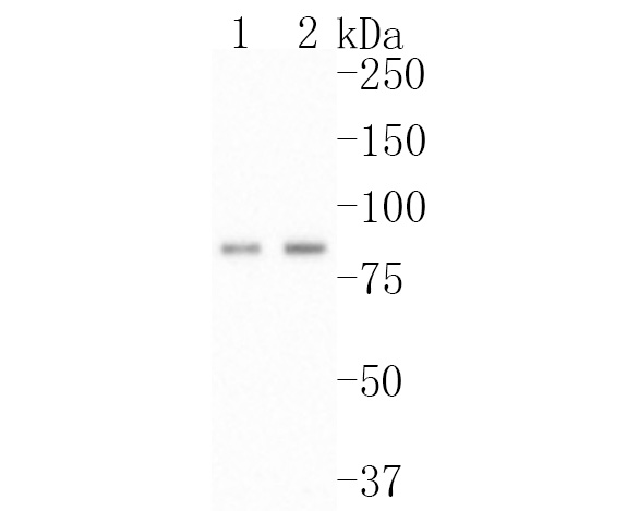 Western blot analysis of Bag3 on Hela (1) and MCF-7 (2) cell using anti-Bag3 antibody at 1/1,000 dilution.