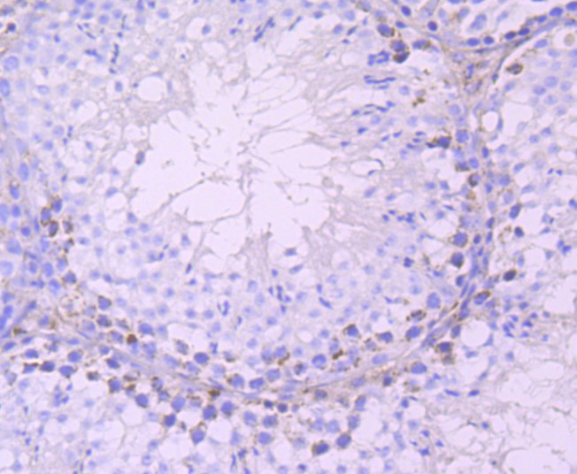 Immunohistochemical analysis of paraffin-embedded mouse testes tissue using anti-DAZL antibody. Counter stained with hematoxylin.
