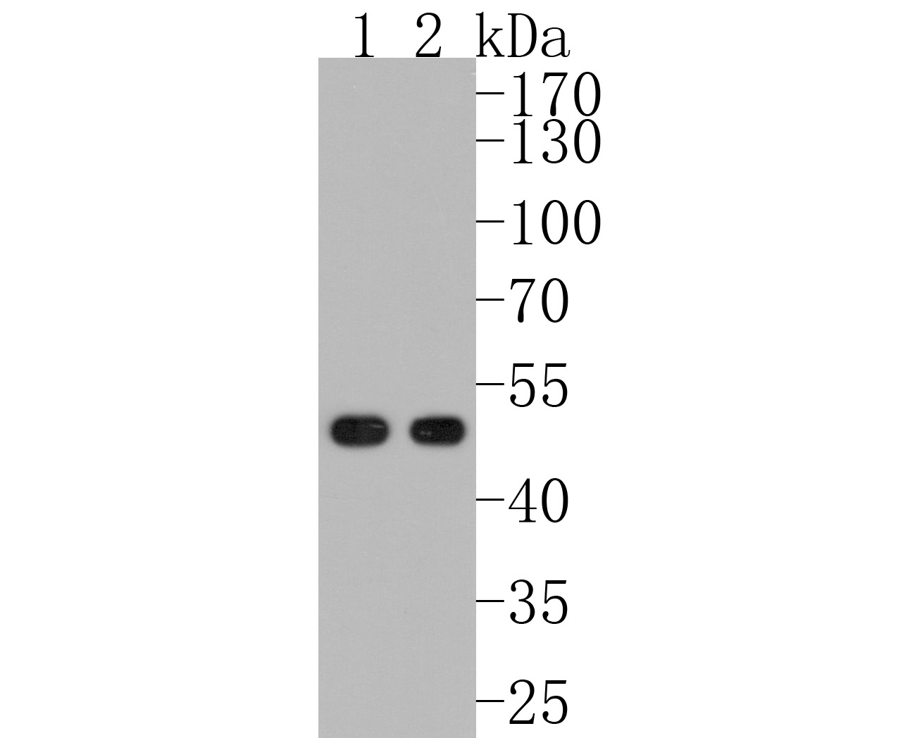 Western blot analysis of MEIS1 on human skeletal muscle (1) and mouse brain (2) tissue lysate using anti-MEIS1 antibody at 1/1,000 dilution.