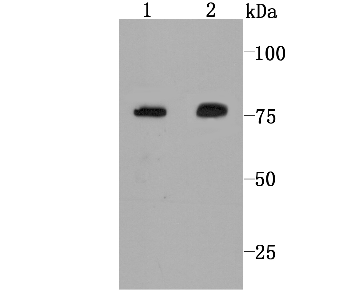 Western blot analysis of Calpain 2 on Hela cell (1) and rat skin tissue (2) lysate using anti-Calpain 2 antibody at 1/1,000 dilution.