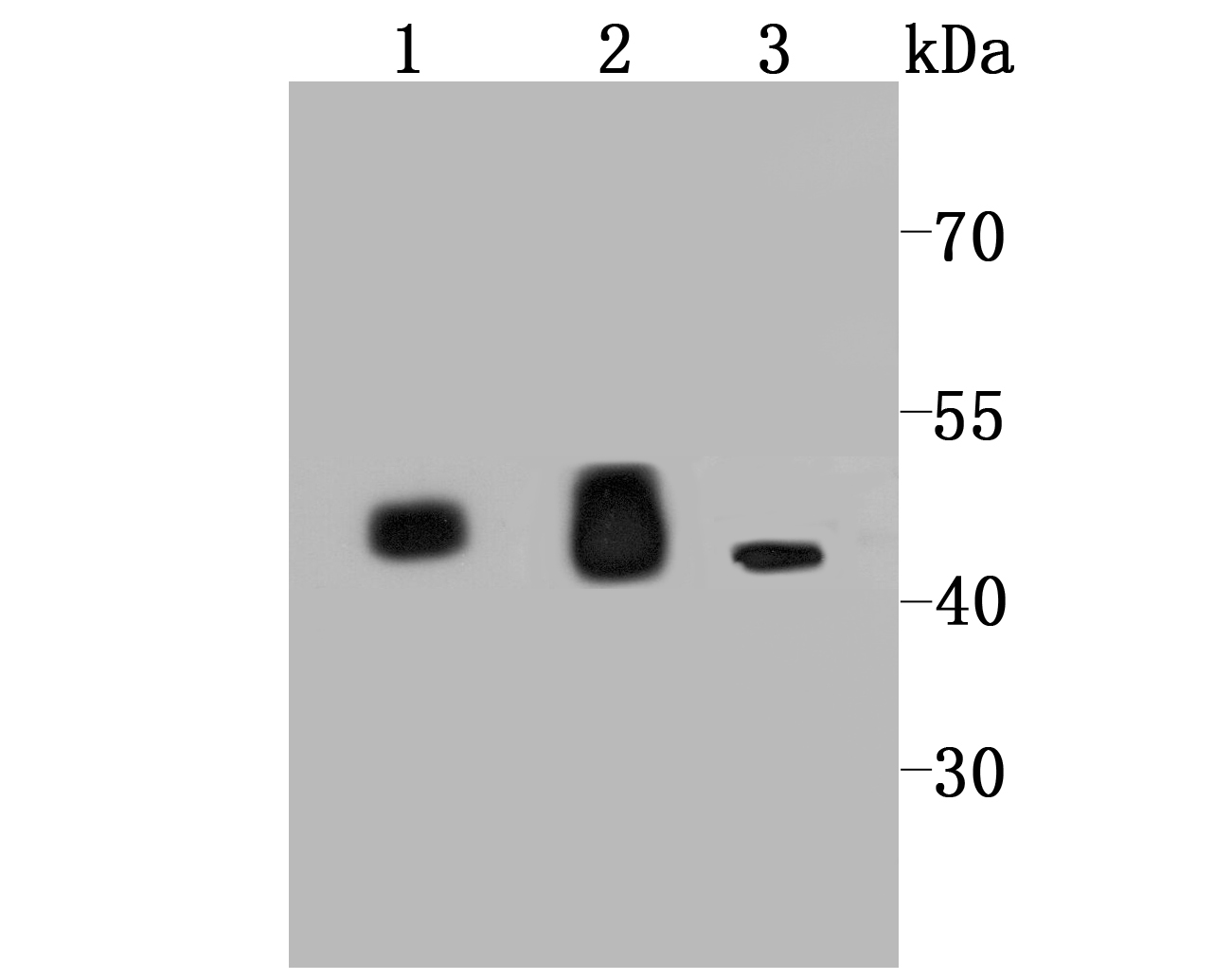 Western blot analysis of IDH2 on different cell lysate using anti-IDH2 antibody at 1/1,000 dilution.<br />   Positive control:<br />   Line 1: Mouse heart <br />   Line 2: Rat heart<br />   Line 3: 293T