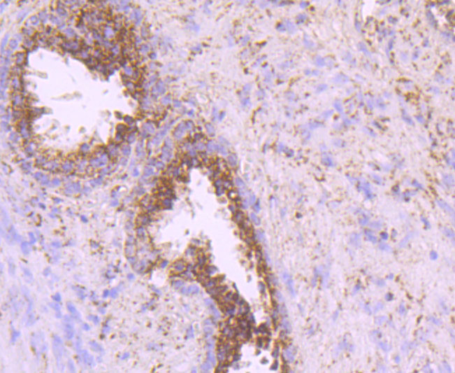 Immunohistochemical analysis of paraffin-embedded human prostate tissue using anti-IDH2 antibody. Counter stained with hematoxylin.