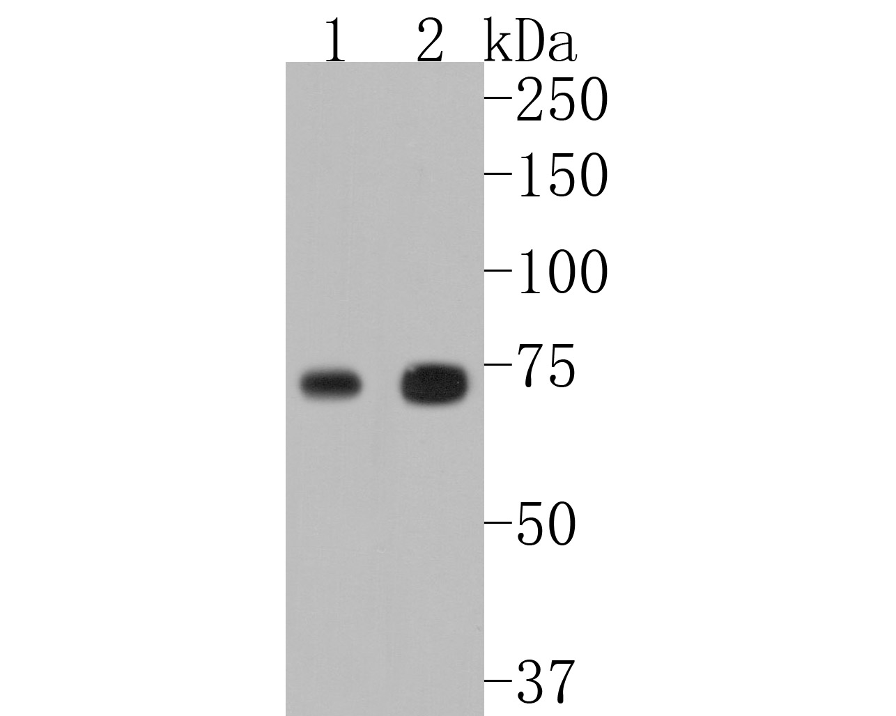 Western blot analysis of TAK1 on human placenta tissue lysate using anti-TAK1 antibody at 1/1,000 dilution.