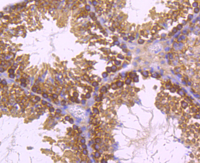 Immunohistochemical analysis of paraffin-embedded mouse testes tissue using anti-Dynamin 2 antibody. Counter stained with hematoxylin.