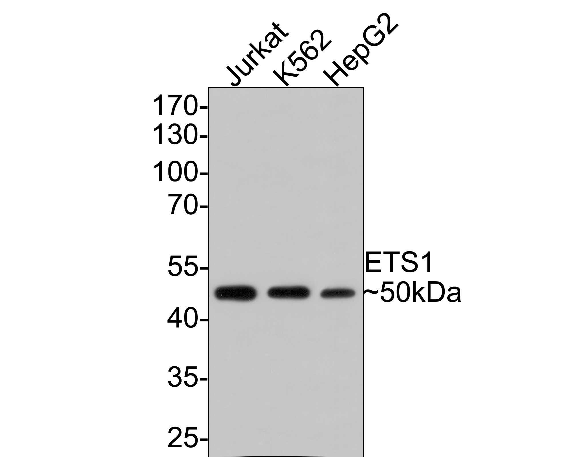 Western blot analysis of ETS1 on different cell using anti-ETS1 antibody at 1/1,000 dilution.<br /> Positive control: <br /> Line1: Jurkat <br /> Line2: K562 <br /> Line3: HepG2