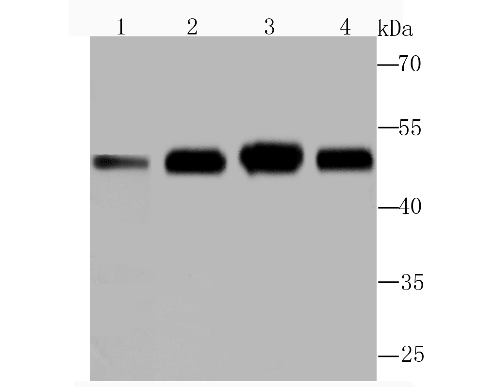 Western blot analysis of ENO1 on different lysates using anti-ENO1 antibody at 1/1,000 dilution.<br />  Positive control:<br />  Lane 1: Rat brain tissue <br />  Lane 2: NIH-3T3<br />  Lane 3: Hela <br />  Lane 4: HepG2<br />