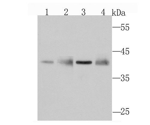 Western blot analysis of WDR5 on different cell lysates using anti-WDR5 antibody at 1/1,000 dilution.<br />  Positive control:<br />  Lane 1: Hela Lane 2: A549 Lane 3: NIH-3T3 Lane 4: PC-12