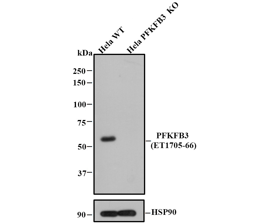 Western blot analysis of PFKFB3 on different cell lysates using anti-PFKFB3 antibody at 1/1,000 dilution.<br />  Positive control:<br />  Lane 1: Hela<br />  Lane 2: PC-12<br />  Lane 3: A431