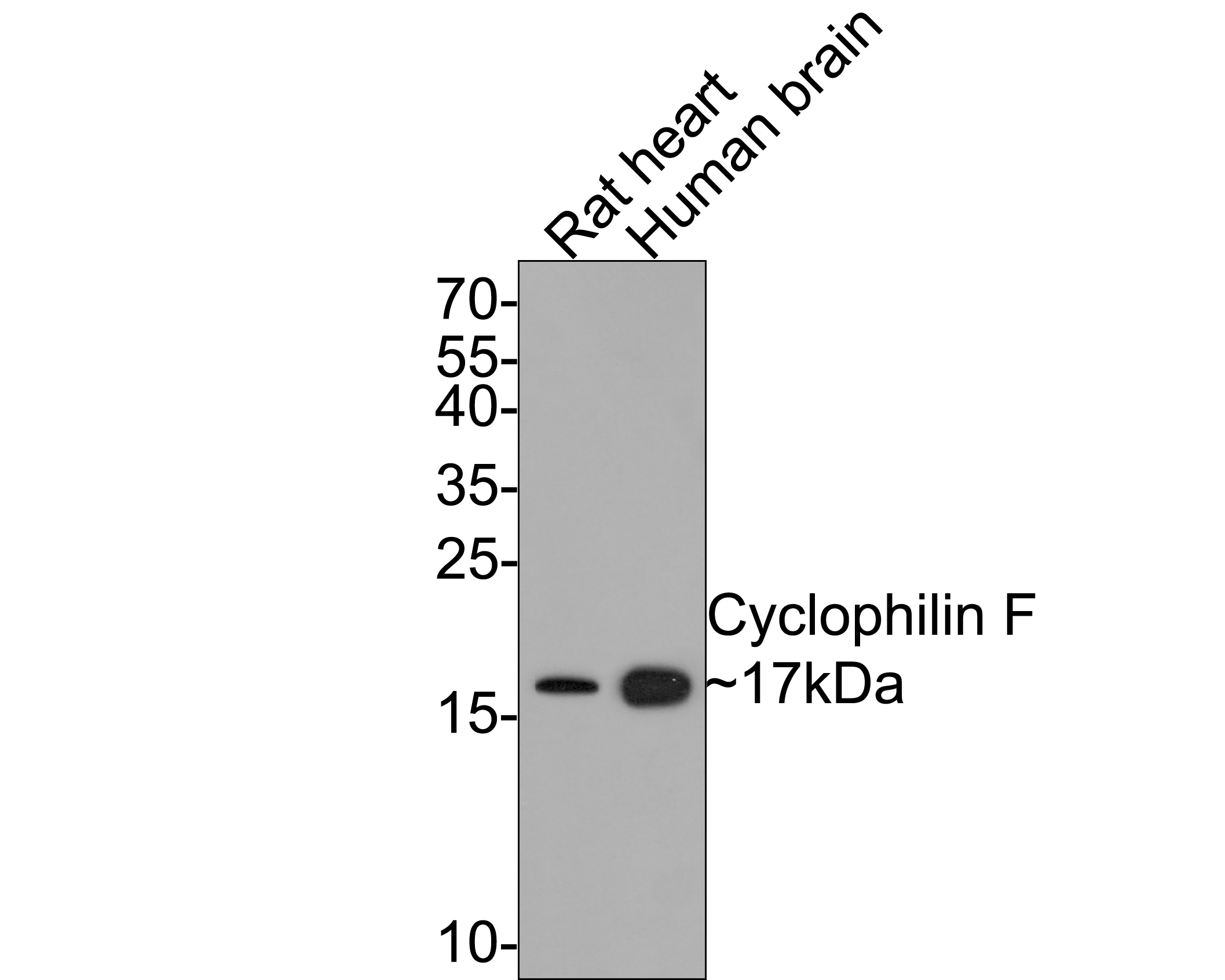 Western blot analysis of Cyclophilin F on human heart (1) and human brain (2) tissue lysate using anti-Cyclophilin F antibody at 1/1,000 dilution.