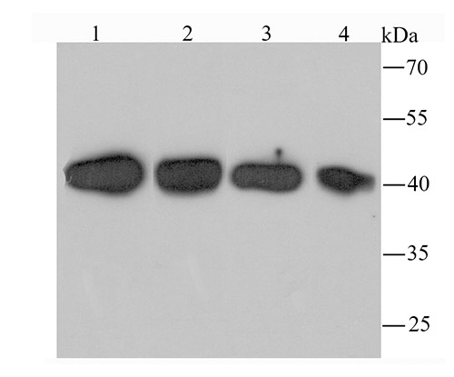 Western blot analysis of TXNIP on different lysates. Proteins were transferred to a PVDF membrane and blocked with 5% BSA in PBS for 1 hour at room temperature. The primary antibody (ET1705-72, 1/500) was used in 5% BSA at room temperature for 2 hours. Goat Anti-Rabbit IgG - HRP Secondary Antibody (HA1001) at 1:5,000 dilution was used for 1 hour at room temperature.<br /> Positive control: <br /> Lane 1: PC-12 cell lysate<br /> Lane 2: human skeletal muscle tissue lysate<br /> Lane 3: NIH/3T3 cell lysate<br /> Lane 4: Hela cell lysate