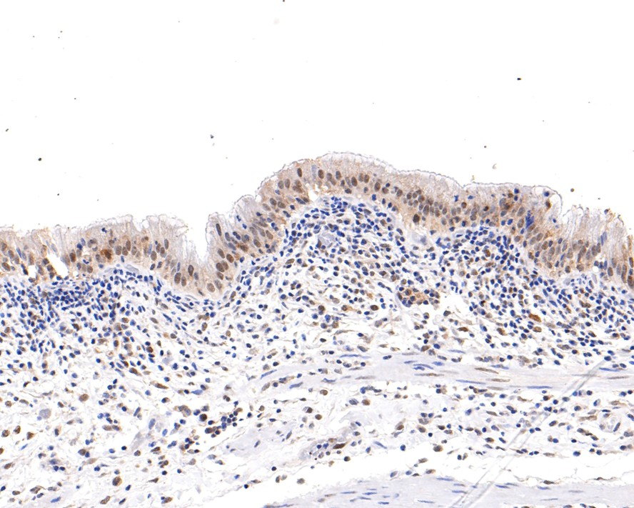 Flow cytometric analysis of Hela cells with Cullin 1 antibody at 1/100 dilution (red) compared with an unlabelled control (cells without incubation with primary antibody; black).