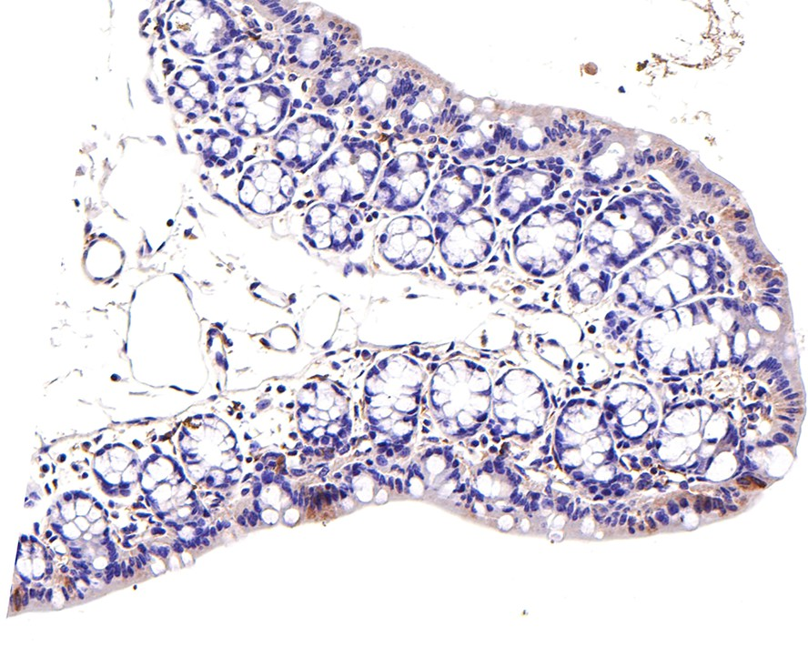Flow cytometric analysis of SW480 cells with JAK1 antibody at 1/100 dilution (red) compared with an unlabelled control (cells without incubation with primary antibody; black).