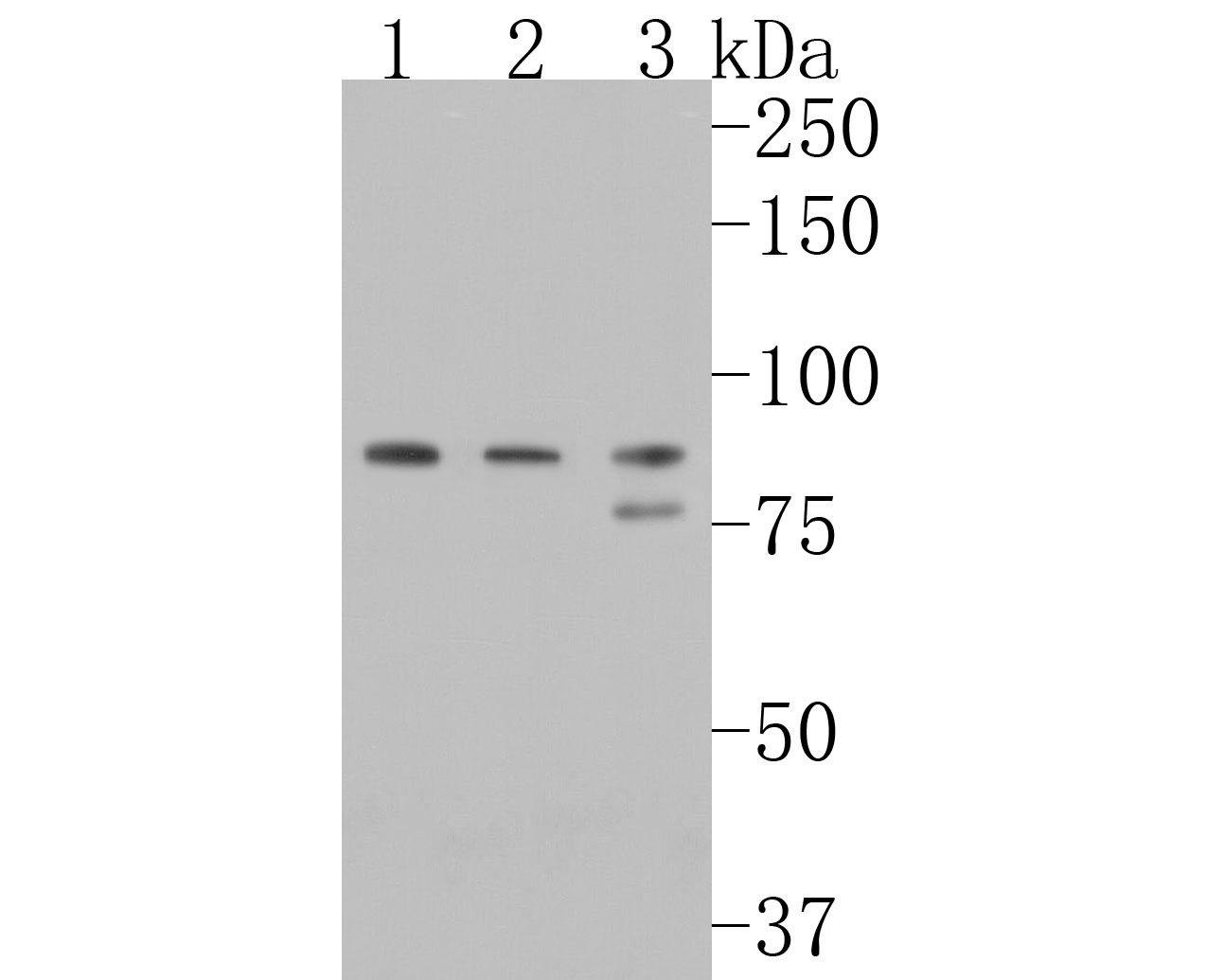 Western blot analysis of OPA1 on different lysates. Proteins were transferred to a PVDF membrane and blocked with 5% BSA in PBS for 1 hour at room temperature. The primary antibody (ET1705-9, 1/500) was used in 5% BSA at room temperature for 2 hours. Goat Anti-Rabbit IgG - HRP Secondary Antibody (HA1001) at 1:5,000 dilution was used for 1 hour at room temperature.<br /> Positive control: <br /> Lane 1: mouse testis tissue lysate<br /> Lane 2: PC-12 cell lysate<br /> Lane 3: mouse brain tissue lysate