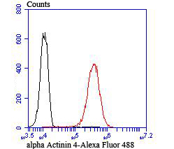 Flow cytometric analysis of A549 cells with alpha Actinin 4 antibody at 1/100 dilution (red) compared with an unlabelled control (cells without incubation with primary antibody; black).