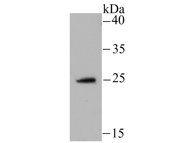 Western blot analysis of NDUFS3 on HepG2 cell using anti-NDUFS3 antibody at 1/500 dilution.