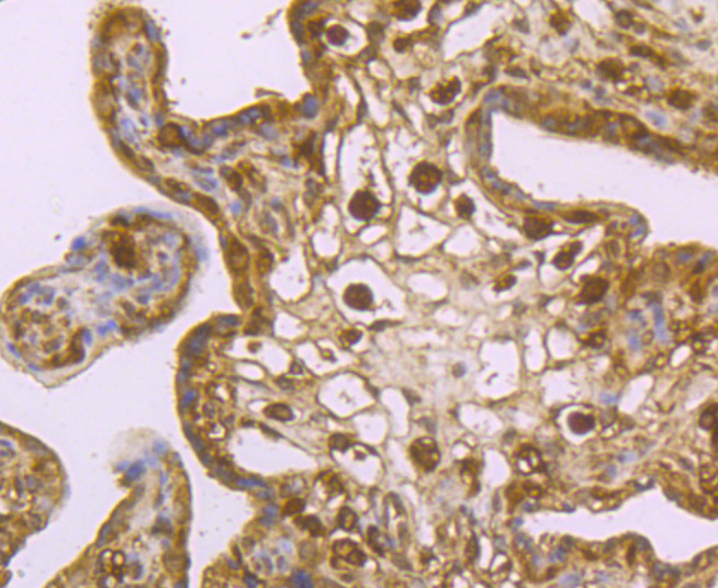 Immunohistochemical analysis of paraffin-embedded human placenta tissue using anti-USP10 antibody. Counter stained with hematoxylin.