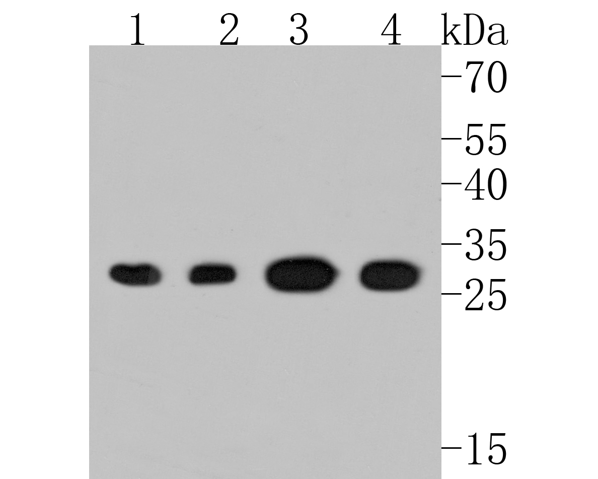 Western blot analysis of PSMA1 on different cell lysates using anti-PSMA1 antibody at 1/500 dilution.<br /> Positive control:<br />  Lane 1: Jurkat<br />  Lane 2: Hela<br />  Lane 3: HepG2<br />  Lane 4: 293<br />