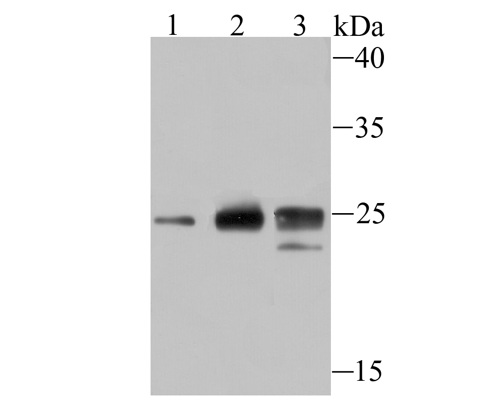 Western blot analysis of Histone H1.2 on different lysates. Proteins were transferred to a PVDF membrane and blocked with 5% BSA in PBS for 1 hour at room temperature. The primary antibody (ET1706-26, 1/500) was used in 5% BSA at room temperature for 2 hours. Goat Anti-Rabbit IgG - HRP Secondary Antibody (HA1001) at 1:5,000 dilution was used for 1 hour at room temperature.<br />  Positive control: <br />  Lane 1: Hela cell lysate<br />  Lane 2: 293 cell lysate<br />  Lane 3: MCF-7 cell lysate