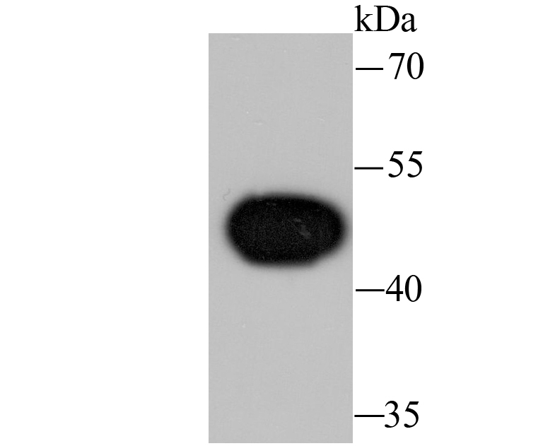 Western blot analysis of Wnt5a on Hela cell lysate using anti-Wnt5a antibody at 1/1,000 dilution.