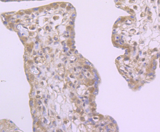 Immunohistochemical analysis of paraffin-embedded human placenta tissue using anti-Drosha antibody. Counter stained with hematoxylin.