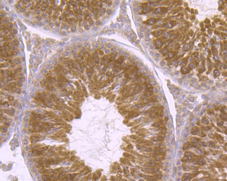 Immunohistochemical analysis of paraffin-embedded rat testis tissue using anti-p23 antibody. Counter stained with hematoxylin.