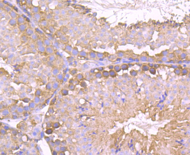 Immunohistochemical analysis of paraffin-embedded mouse testis tissue using anti-TCTP antibody. Counter stained with hematoxylin.
