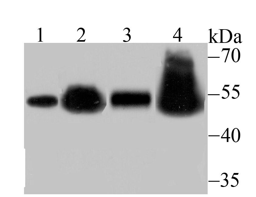 Western blot analysis of RbAP48 on different lysates using anti-RbAP48 antibody at 1/500 dilution.<br />  Positive control:<br />  Lane 1: NIH-3T3 <br />  Lane 2: Hela<br />  Lane 3: Rat brain <br />  Lane 4: Mouse testis<br />