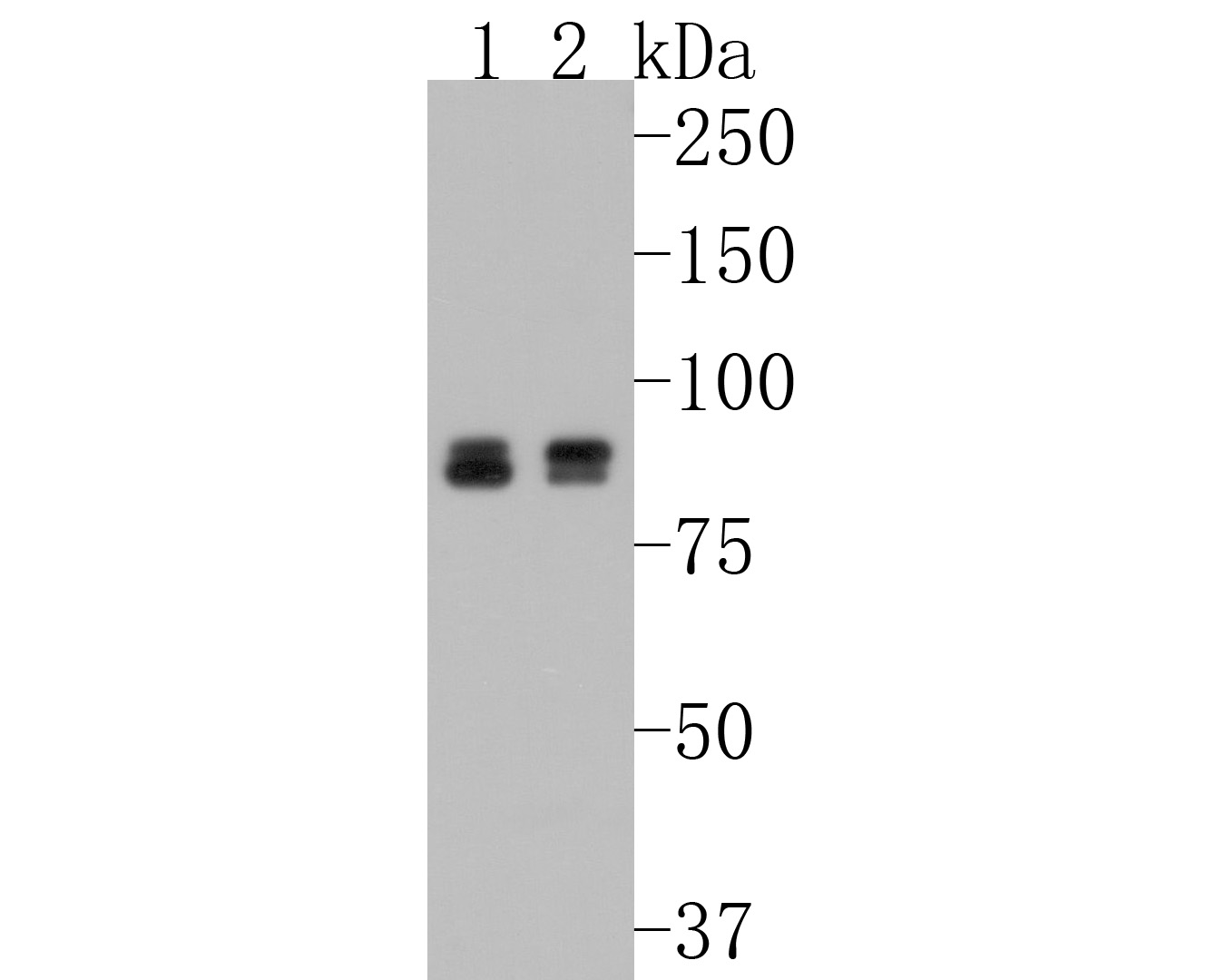 Western blot analysis of Cullin 4a on Hela cell lysates using anti-Cullin 4a antibody at 1/500 dilution.