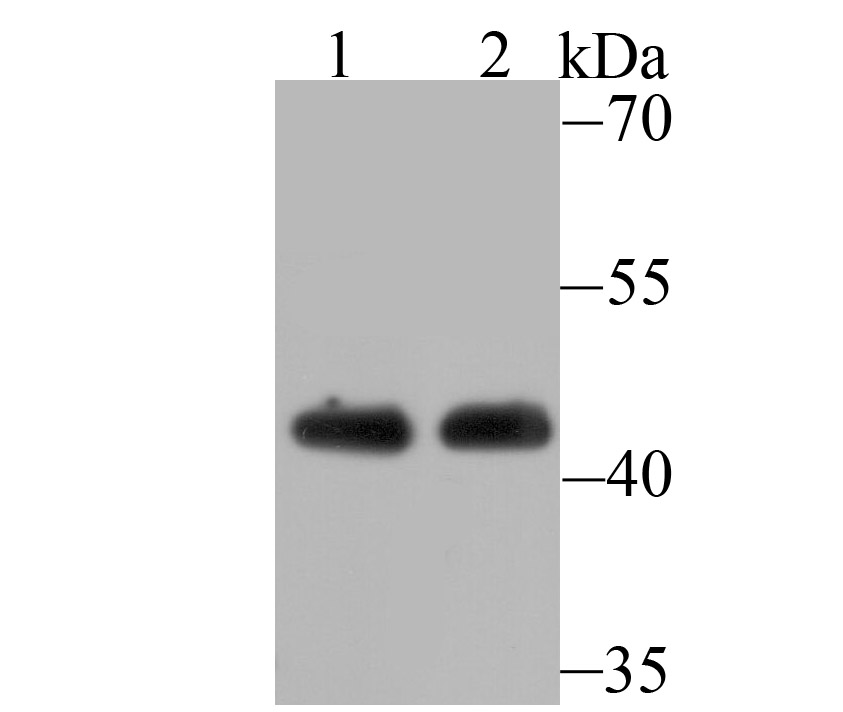 Western blot analysis of ACTL6A on Jurkat cell(1) and mouse brain tissue(2) lysate using anti-ACTL6A antibody at 1/500 dilution.