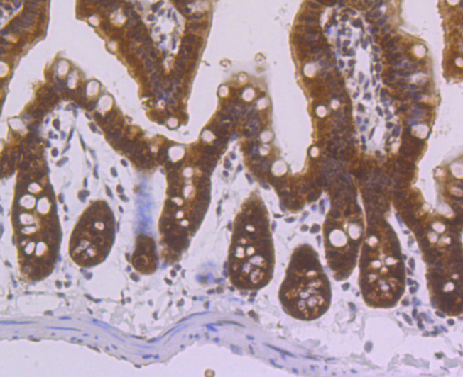 Immunohistochemical analysis of paraffin-embedded mouse colon tissue using anti-villin1 antibody. The section was pre-treated using heat mediated antigen retrieval with Tris-EDTA buffer (pH 8.0-8.4) for 20 minutes.The tissues were blocked in 5% BSA for 30 minutes at room temperature, washed with ddH2O and PBS, and then probed with the primary antibody (ET7106-62, 1/200) for 30 minutes at room temperature. The detection was performed using an HRP conjugated compact polymer system. DAB was used as the chromogen. Tissues were counterstained with hematoxylin and mounted with DPX.