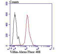 Flow cytometric analysis of villin1 was done on Hela cells. The cells were fixed, permeabilized and stained with the primary antibody (ET7106-62, 1/50) (red). After incubation of the primary antibody at room temperature for an hour, the cells were stained with a Alexa Fluor 488-conjugated Goat anti-Rabbit IgG Secondary antibody at 1/1000 dilution for 30 minutes.Unlabelled sample was used as a control (cells without incubation with primary antibody; black).